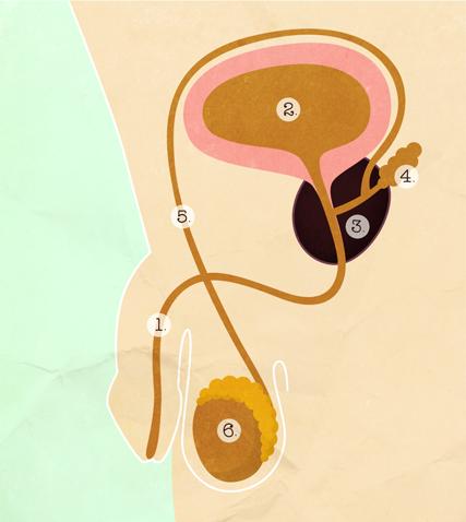 Vasectomie-Avant